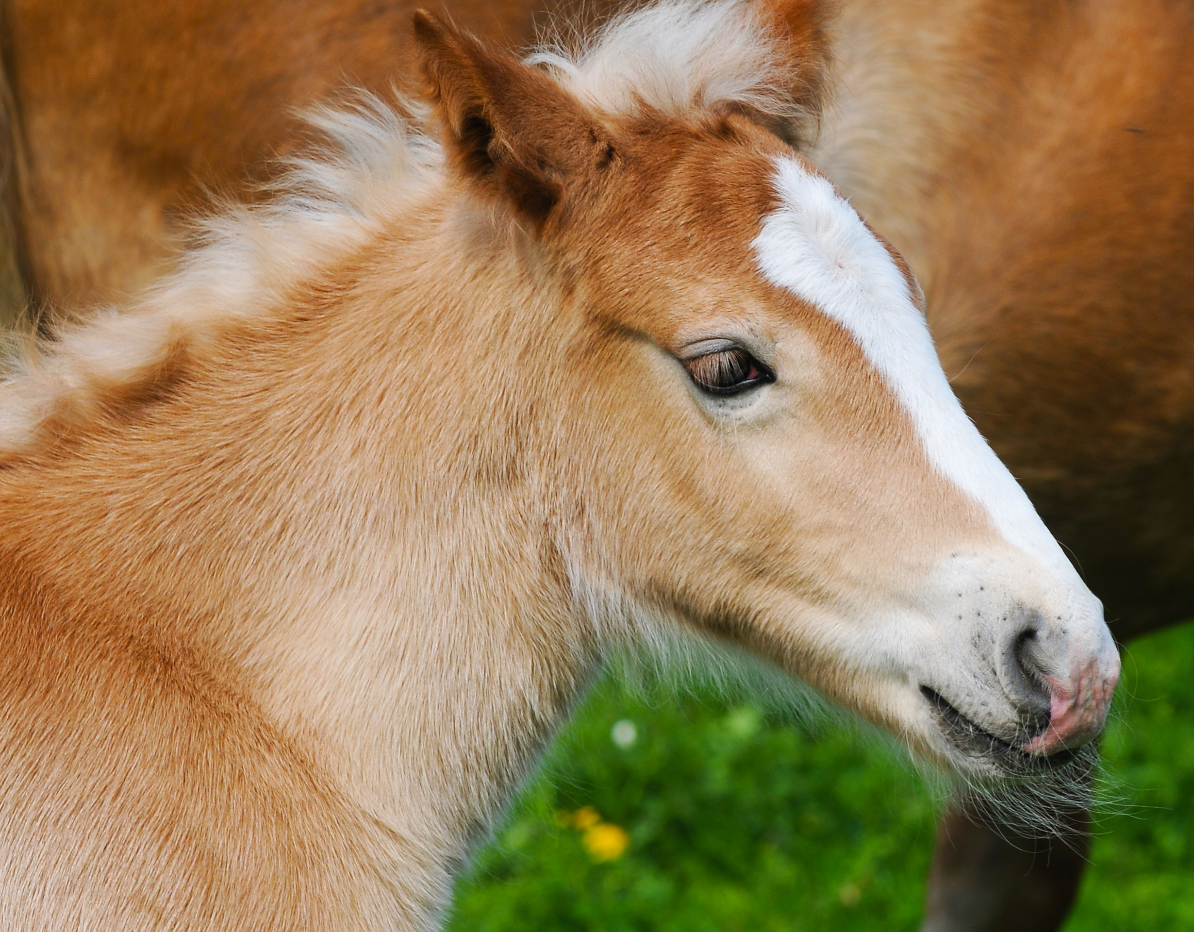 Prometea – The first ever cloned horse born in Cremona